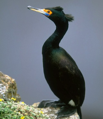 red headed Cormorant in Alaska