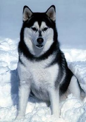Alaskan malamute is the state dog for Alaska