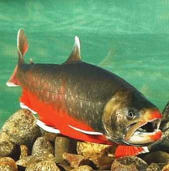 arctic char live in a variety of Alaska lakes