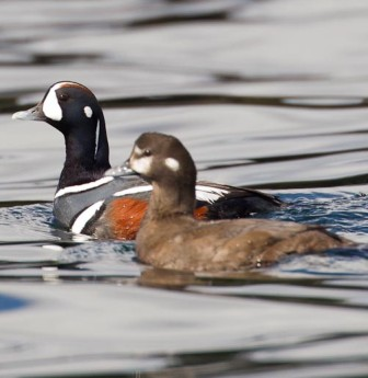 harlequin ducks in alaska