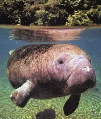 Florida's West Indian Manatee swimming near Crystal River Florida