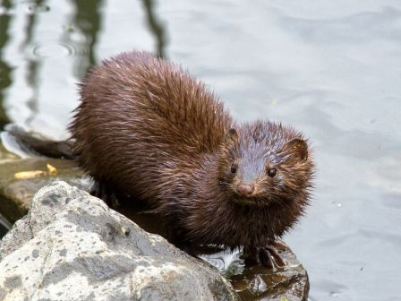 alaska is home to many mink