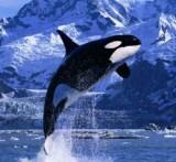 Alaska orca whale also known as a killer whale