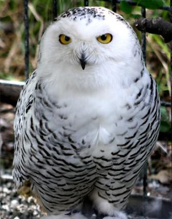 snowy owl found in Alaska skies