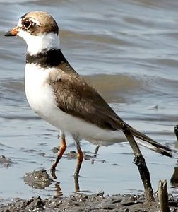 alaska plovers comb the beaches for food