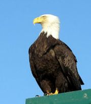 the american bald eagle standing lookout in Alaska