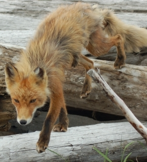 Alaska is home to the red fox