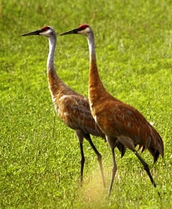 a pair of sandhill cranes forgaing for food in Alaska