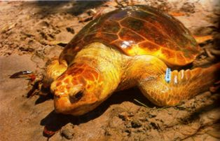 loggerhead sea turtles sometimes travel as far north as alaska