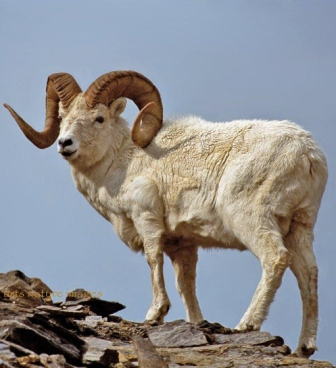 climbing dall sheep in Alaska