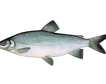 alaska fish broad whitefish