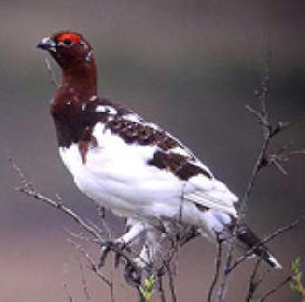Willow Ptarmigan is Alaska state bird